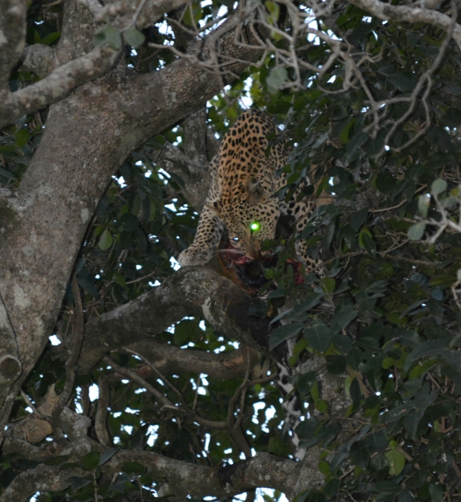 The elusive Leopard eating it's kill on top of a tree.