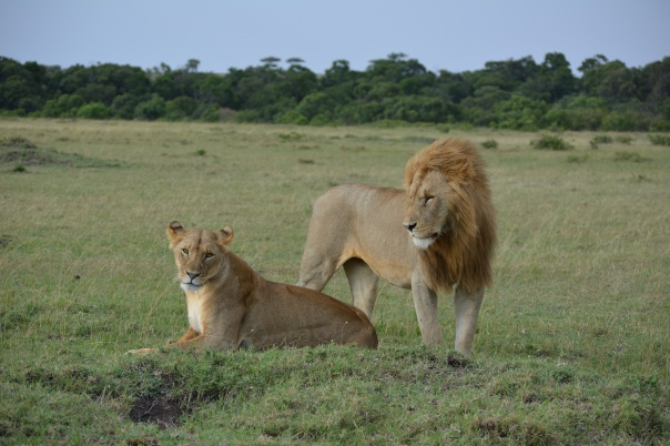 Beautiful couple of Lions just a couple feet from us!