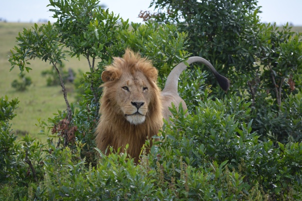 My favorite, The King of the jungle coming out of the trees.