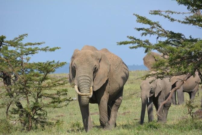 Elephant's walking right towards us, kina scary. Lol