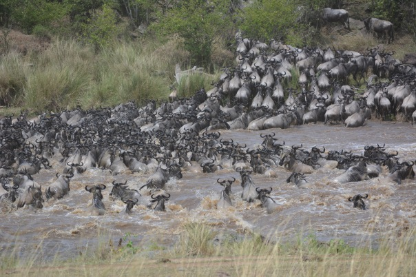 The Great Migration. Lucky to see this amazing event today and take this picture as all these animals cross the Mara river.
