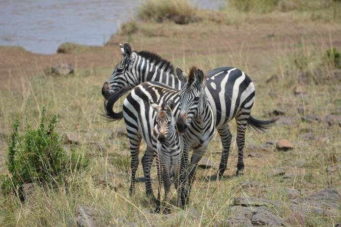 Baby zebra with her family.