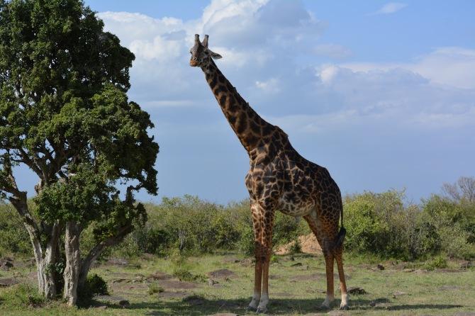 Beautiful giraffe having lunch! Lol